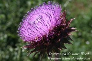 a_Bristle_Thistle_Flower