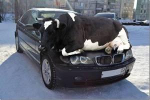 herding a cow